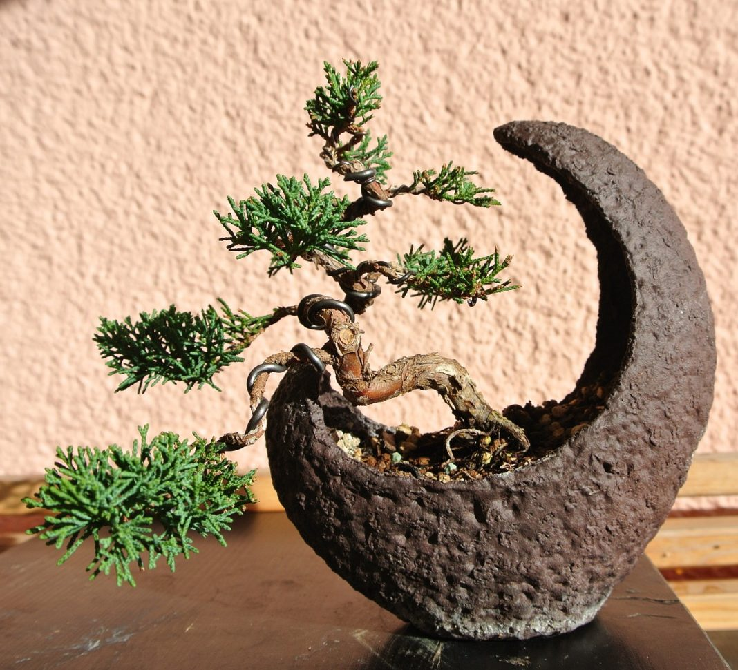 Juniper Bonsai Make Truly Memorable Presents