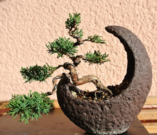 Juniper Bonsai Make Truly Memorable Presents
